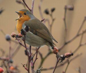 Singendes Rotkehlchen im Hagebuttenbusch